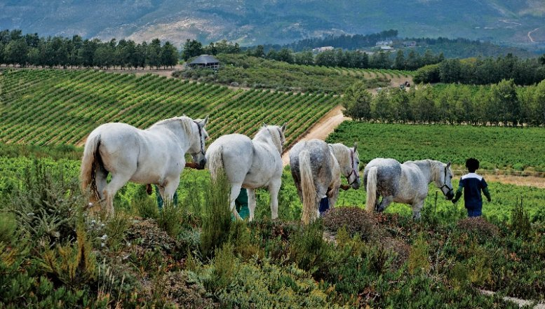 Waterkloof Wine Estate workers leading horses.